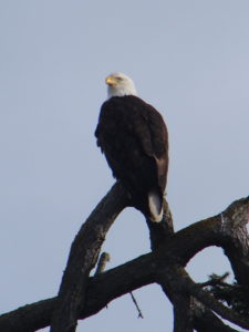 bald eagle by Jack Padalino