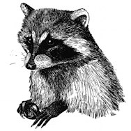 ANSS Raccoon Logo